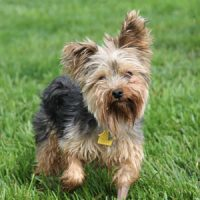 Gunner, an adoptable yorkie mix dog
