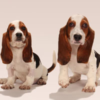 Rescued basset hound dogs