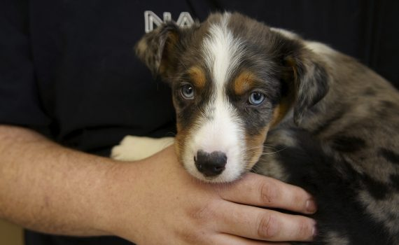Australian Shepherd mix puppy at Maryland Heights