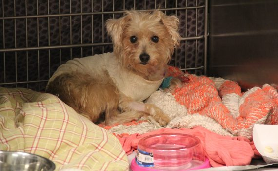 Frannie poodle mix recovering from stabbing