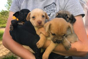 Puppies rescued by HSMO's Animal Cruelty Task Force from Howell County Hoarder