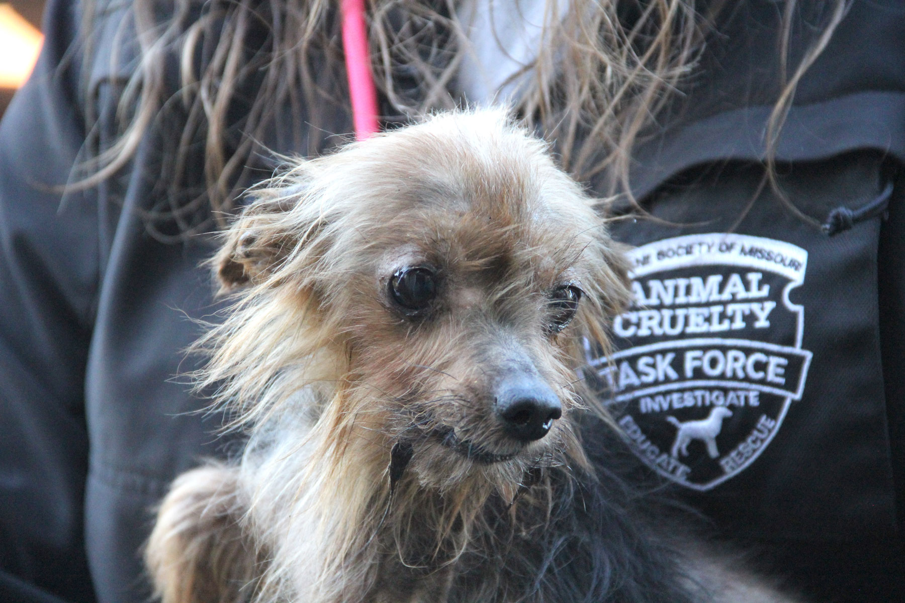 Yorkie Rescued by HSMO from Bates County