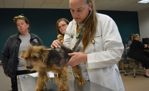 Dr Julie Brinker examines Yorkie Rescued by HSMO from Bates County