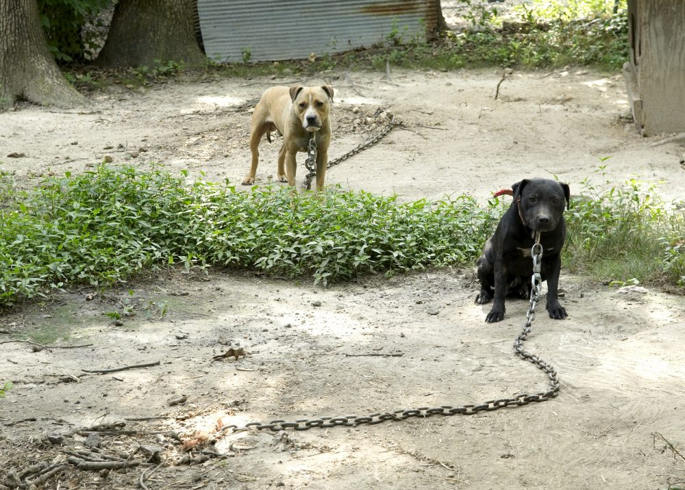Dogs from a fighting property